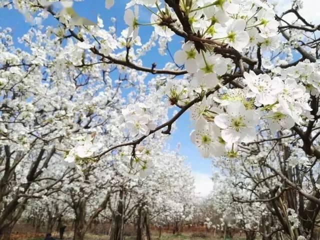 """3月云南多地""""飘雪""""!!近万亩梨花又火了,美到令人窒息!"""