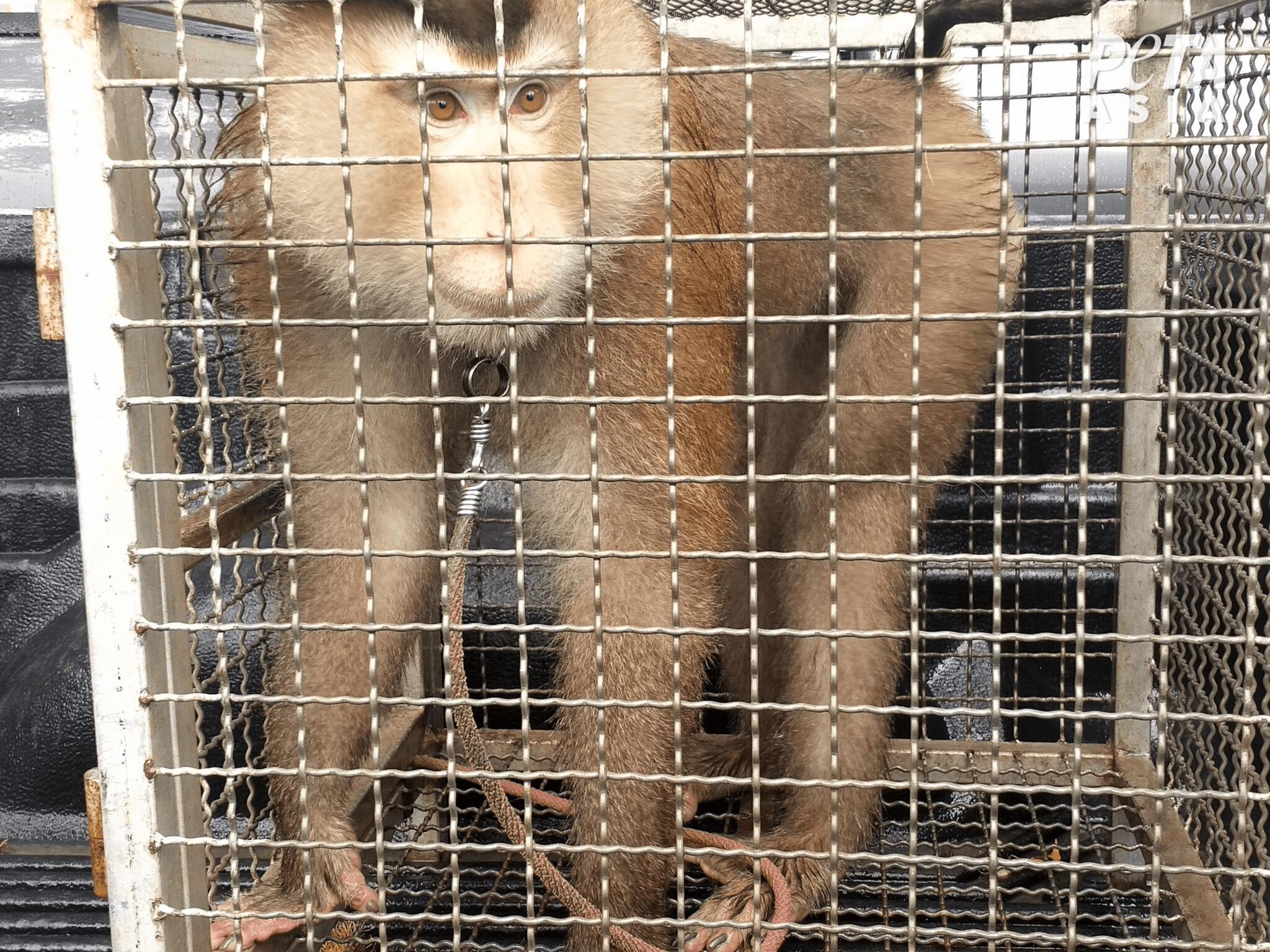 """泰国农场仍用""""奴隶猴工""""摘椰子,美国动物福利组织死磕"""