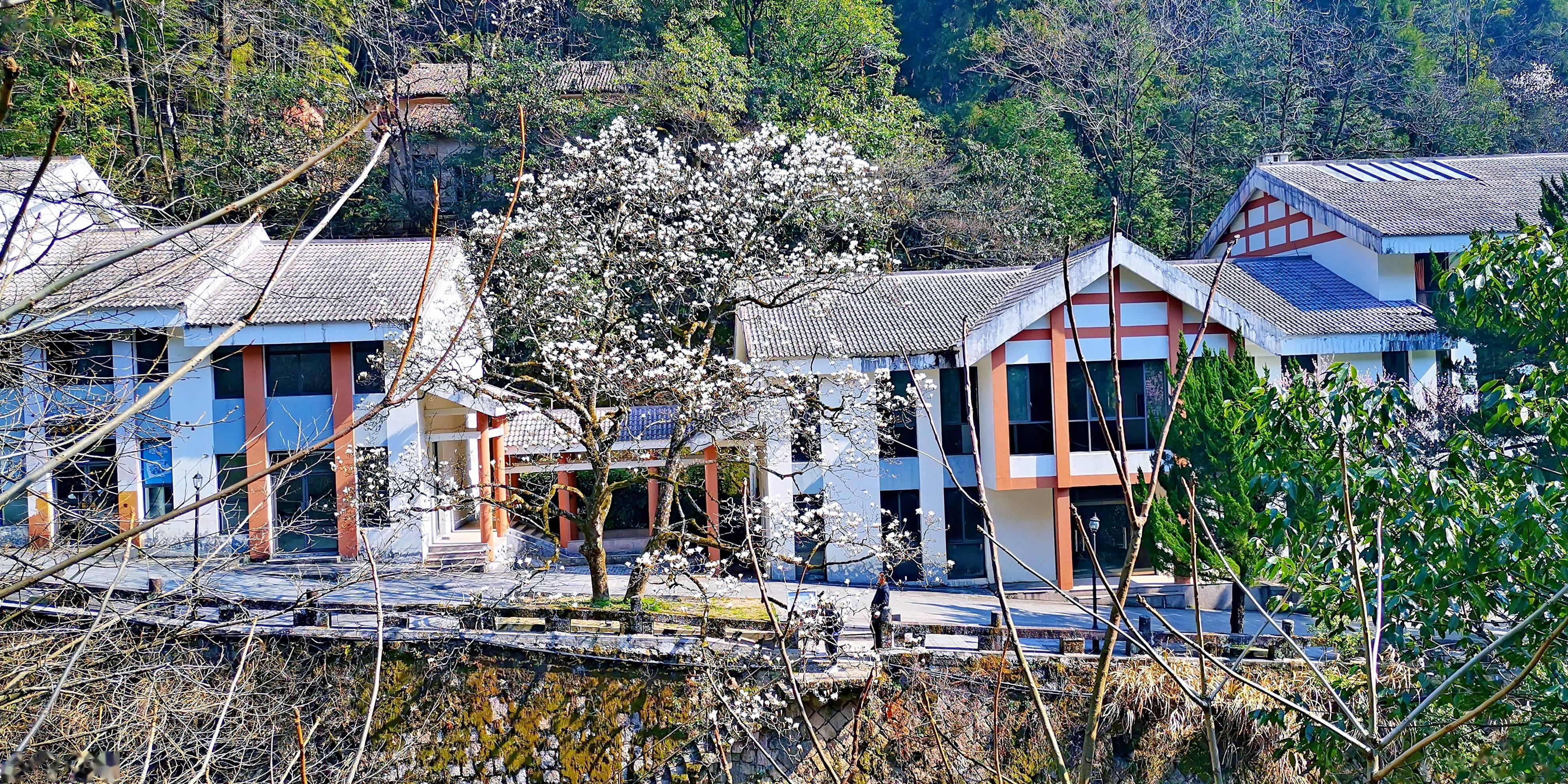 黄山风景区:望春花开枝头,春意满山满谷