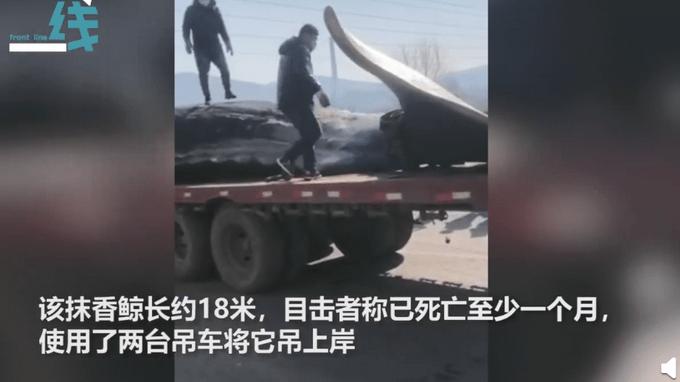 大连海域现18米长鲸鱼尸体 网友:小心爆炸!