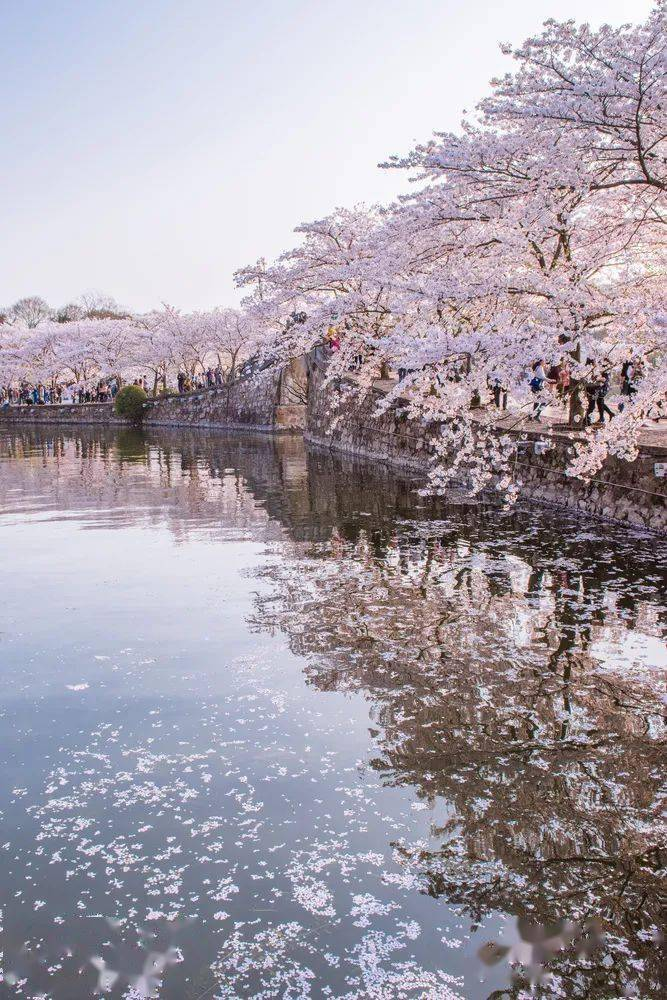 比武汉小众,比日本绝美!国内最美樱花,竟藏在这里...