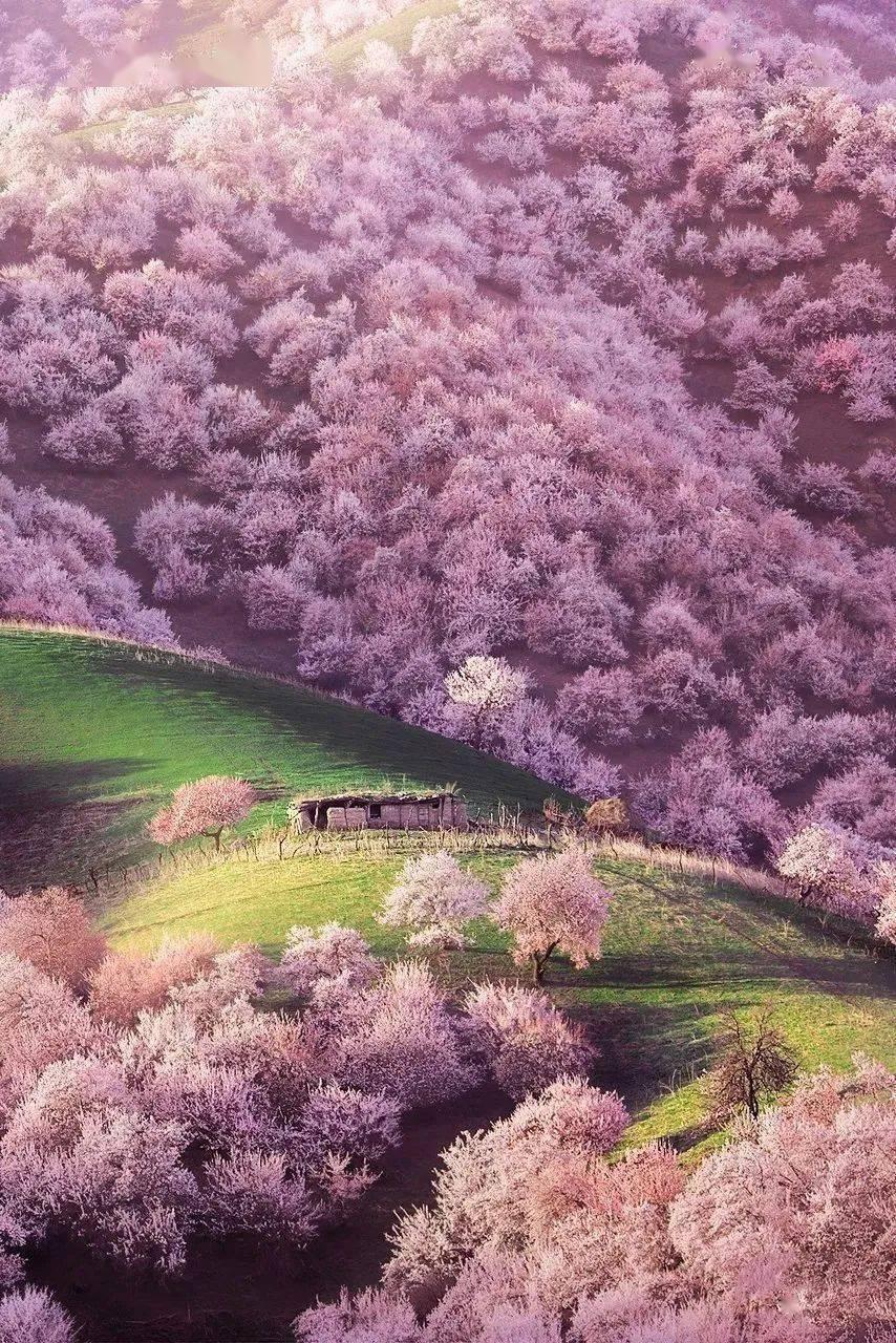 人间最美4月天,新疆伊犁杏花向你发出邀请函!
