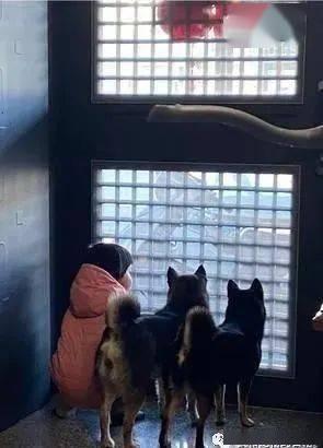 2柴和萌妹每天准时守门边,背影看起来既温馨又疗愈!