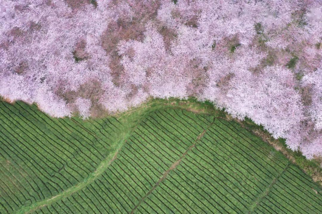 美过日本,不输武汉,全球最大的樱花基地竟在中国,还免费! (图2)