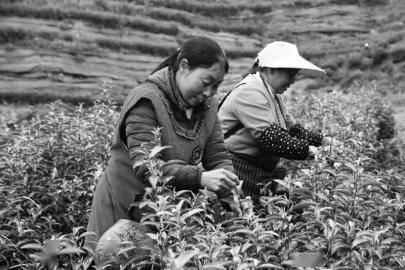 茶香满巴山 万源 30 万亩富硒茶开采