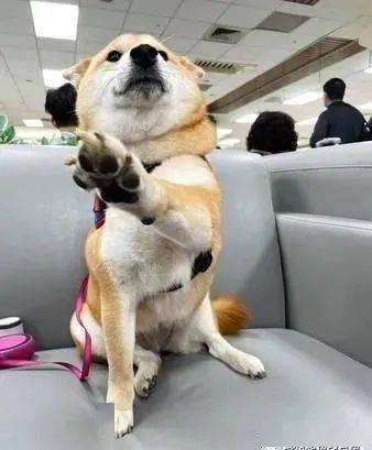 柴犬在机场狂撩路过陌生人,热情讨摸的举动令人融化!