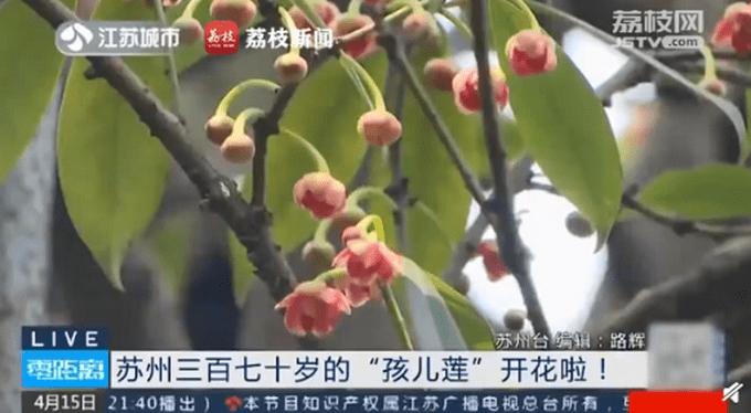 罕见!苏州370岁孩儿莲盛开:只开花不结果,繁殖特别难