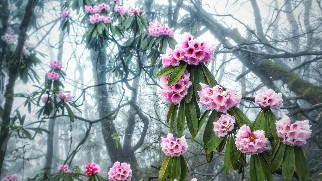 瓦屋山景区春季赏花网上预约攻略!记得收藏哦~