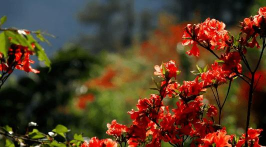 炽热的美~云南这个地方的杜鹃花开得正好!赶紧去打卡~