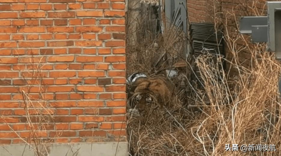 正在直播!废弃民房发现老虎,已有一名居民受伤