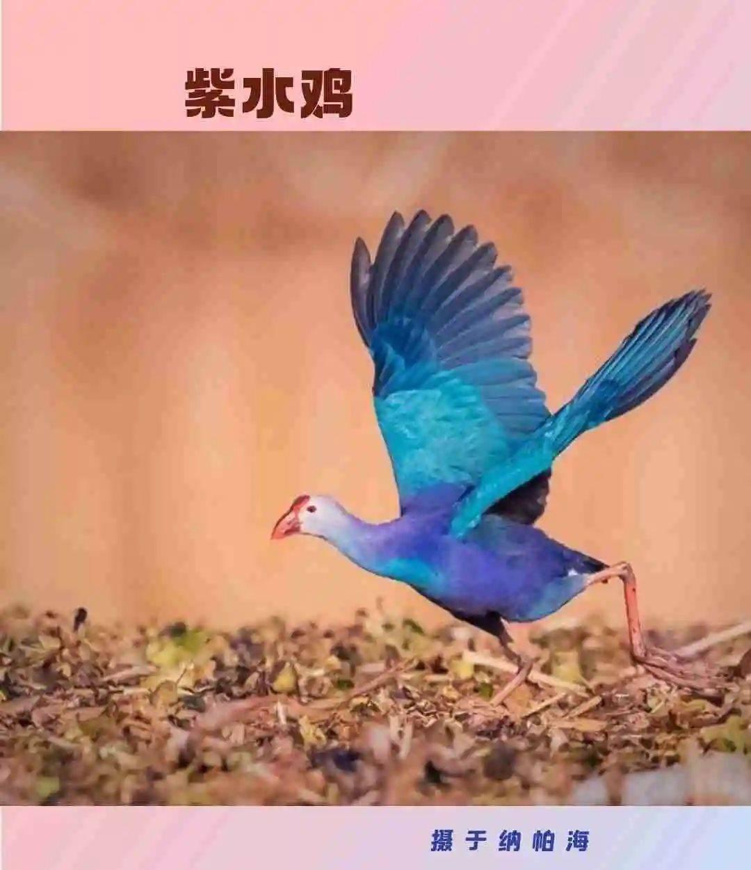展开这个卷轴!再也不用担心别人问我这是什么鸟了!