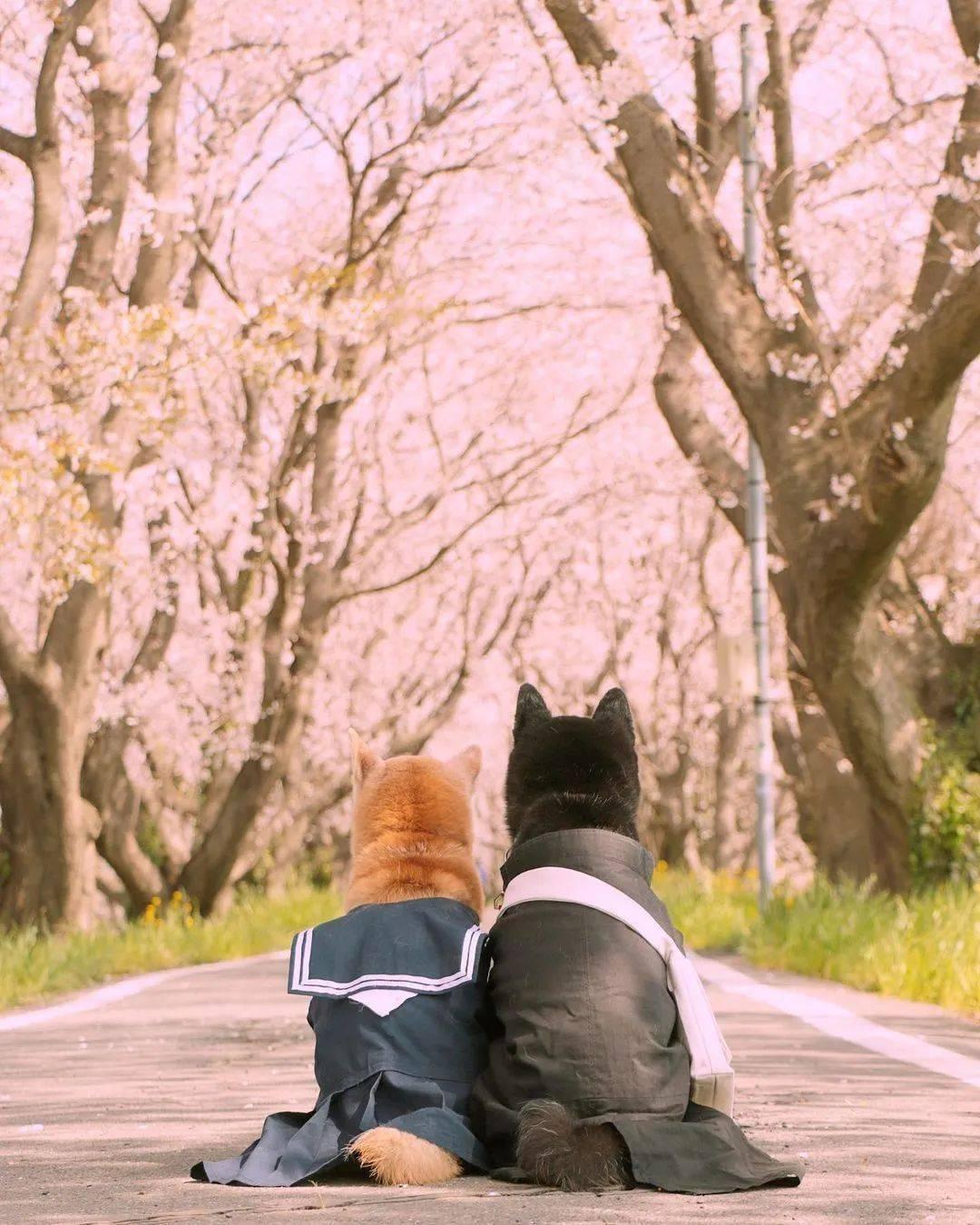 """樱花树下的""""柴犬兄妹照"""",暖哭100万网友:下辈子,我还做你的哥哥!"""