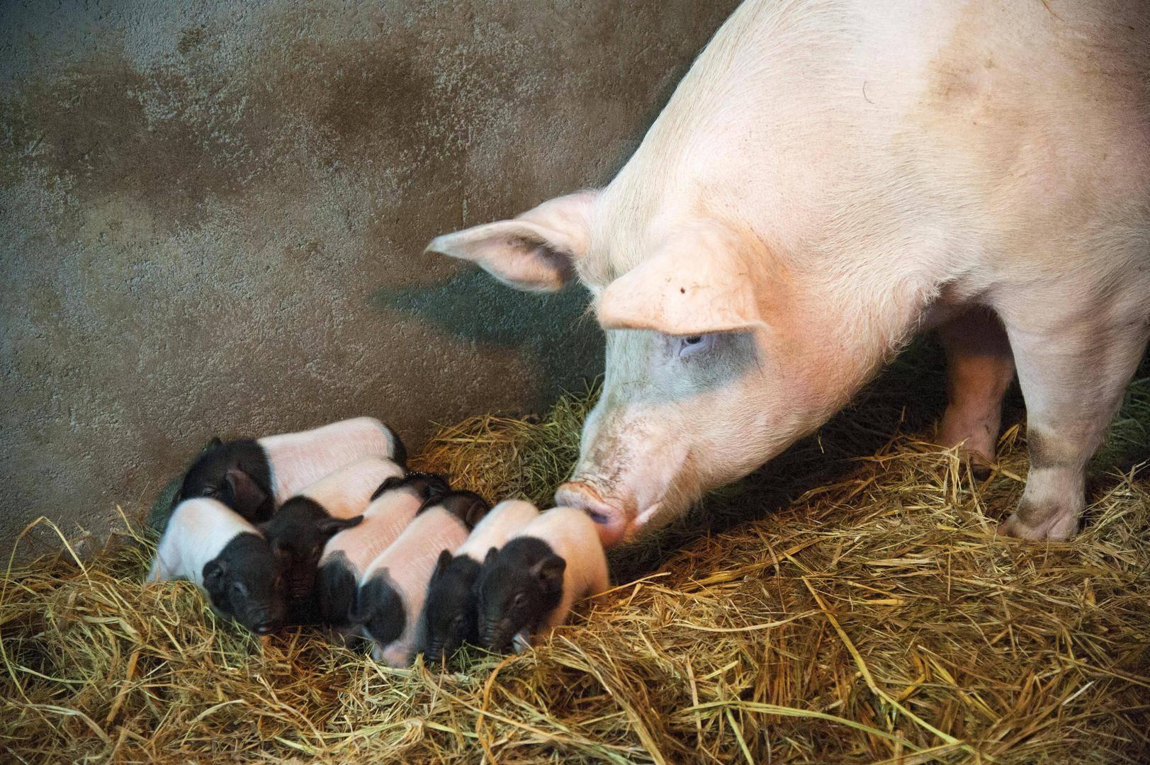 """肉价""""破十""""倒挂,得母猪者得天下:上市猪企能繁母猪存栏量大比拼"""